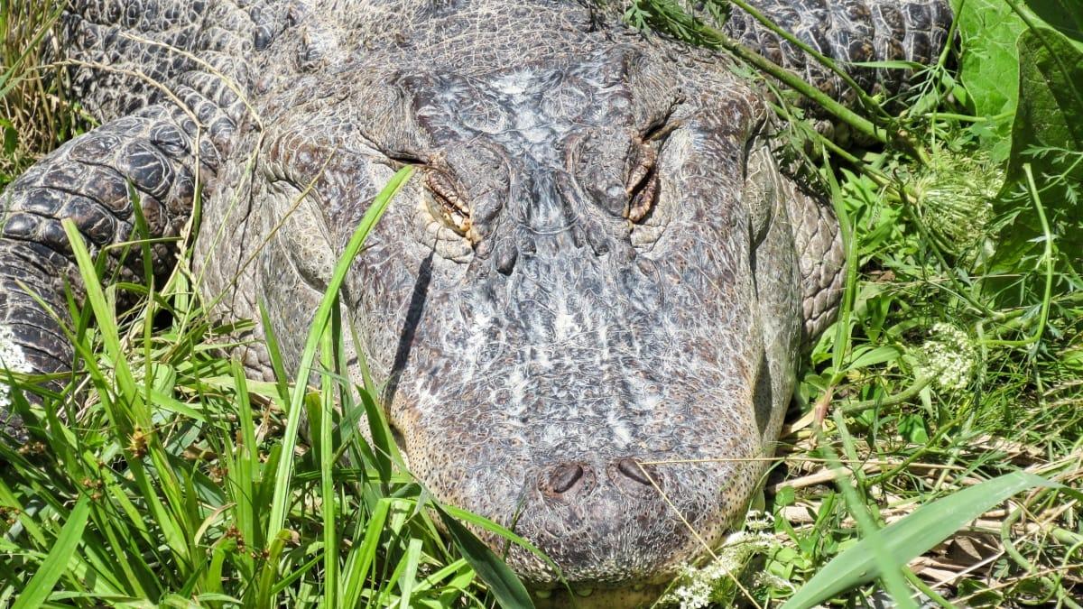 krokodil, gmaz, opasnost, priroda, aligator, biljni i životinjski svijet, životinja, divlje