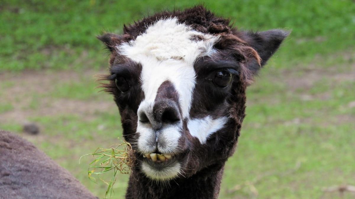 alpaca, wildlife, llama, animal, cute, grass, portrait, fur