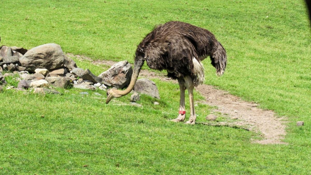 grass, ostrich, bird, animal, nature, field, summer, outdoors