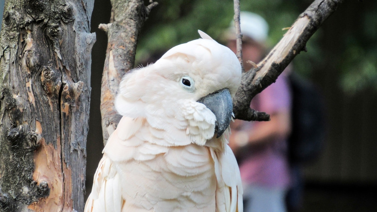 white, feather, bird, parrot, beak, wildlife, nature, animal