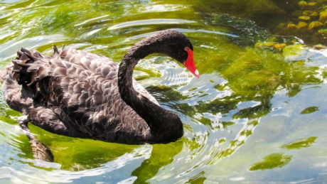 beautiful, black, swan, bird, aquatic bird, nature, wildlife, water