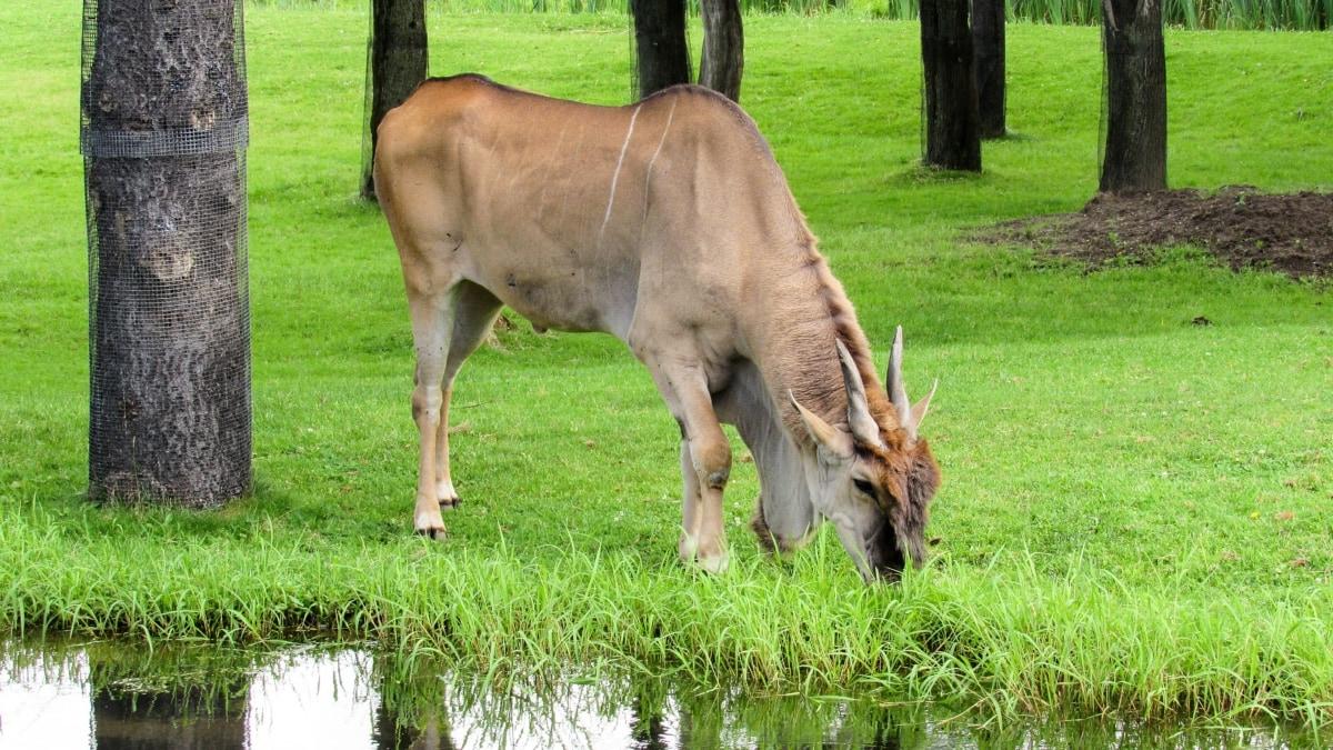 Africa, antelope, grazing, safari, wildlife, rural, grass, animal
