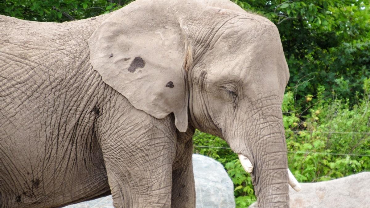 nature, safari, wildlife, ivory, wild, elephant, animal, park