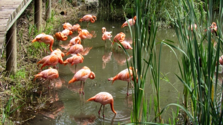 flamingo, wading bird, pond, nature, lake, aquatic bird, water, wildlife