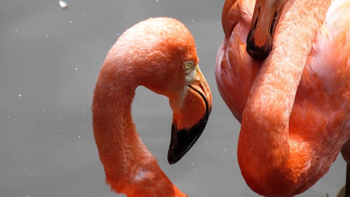 exotic, aquatic bird, flamingo, beak, wildlife, wading bird, bird, water