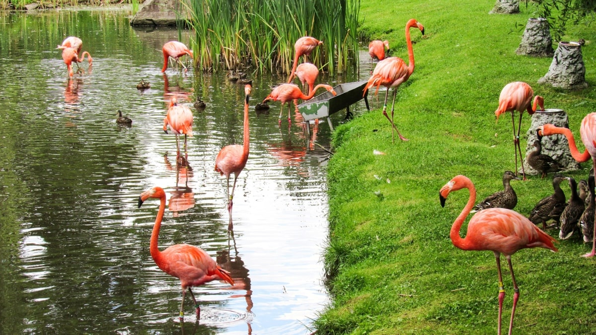 flamingo, flock, riverbank, animal, neck, bird, nature, wild