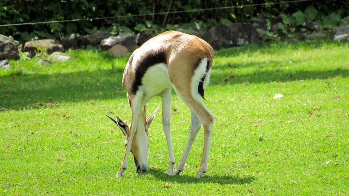 Africa, wildlife, antelope, grass, nature, animal, wild, park