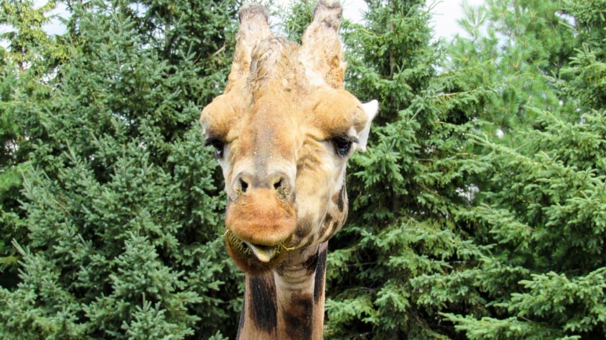 divoká zvěř, žirafa, Příroda, zvíře, divoká, strom, dřevo, parku