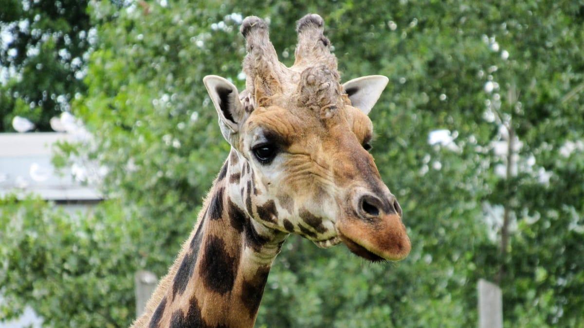 head, horn, giraffe, animal, wildlife, wild, nature, grass