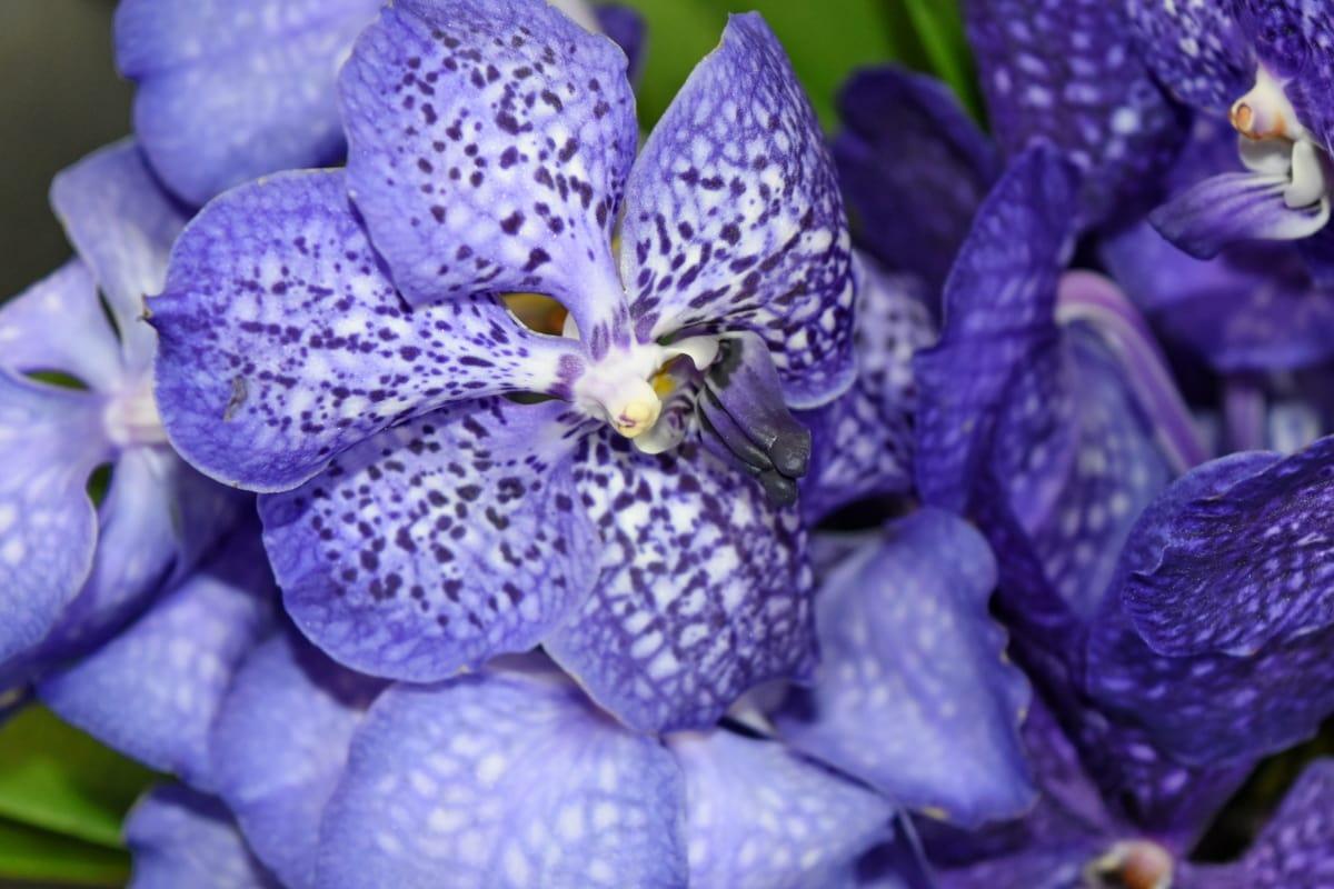 blauw, orchidee, bloemblaadjes, paars, keerkring, flora, bloem, natuur