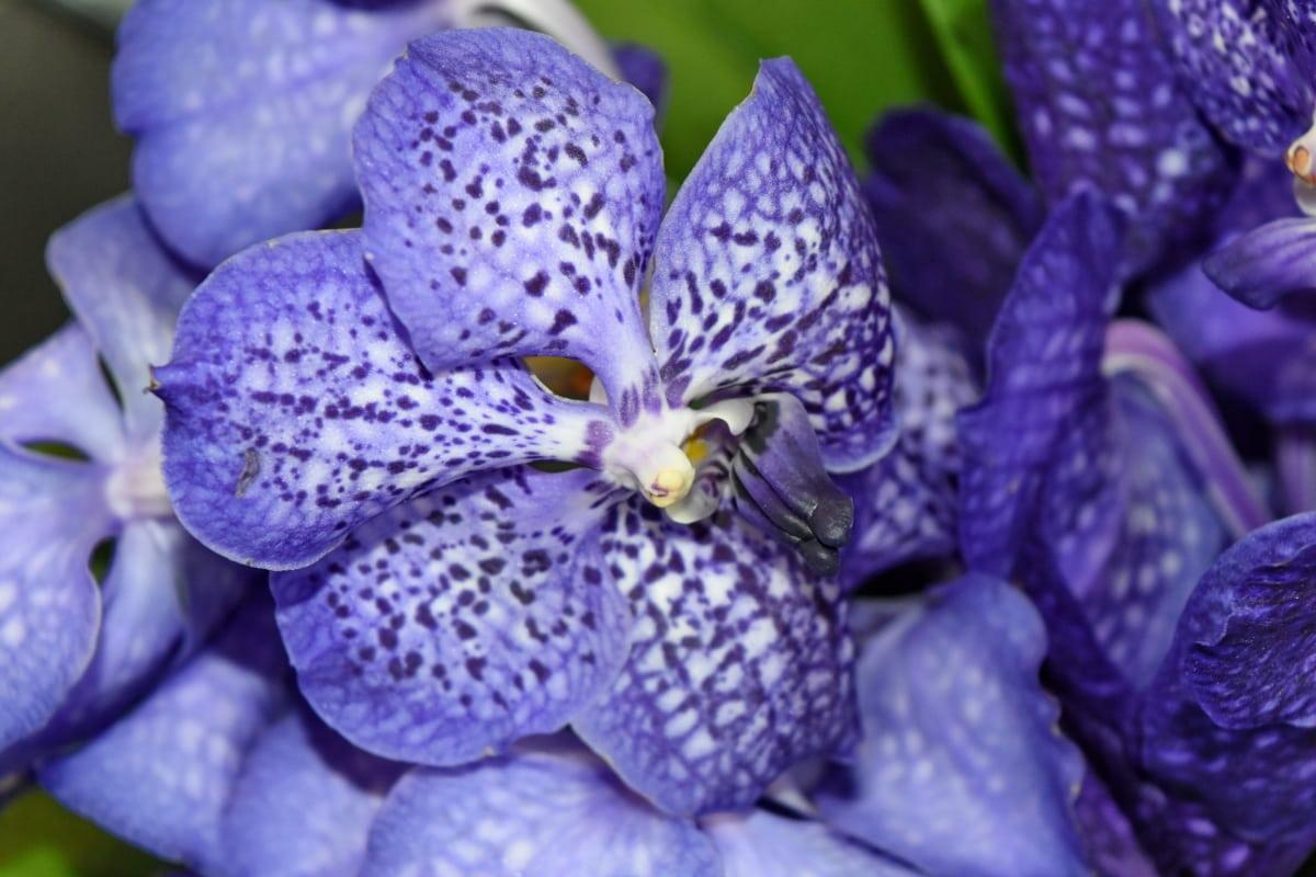 ορχιδέα, μωβ, τροπικά, φυτό, φύση, χλωρίδα, πέταλο, λουλούδι
