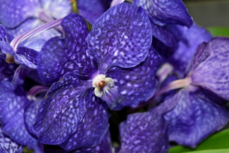 blue, detail, exotic, orchid, petals, pistil, nature, garden