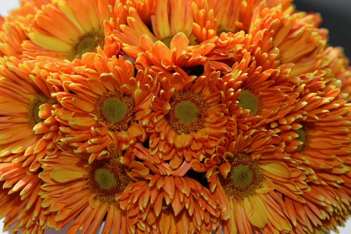Százszorszép, Flóra, szirom, természet, közelkép, kivirul, növény, szín