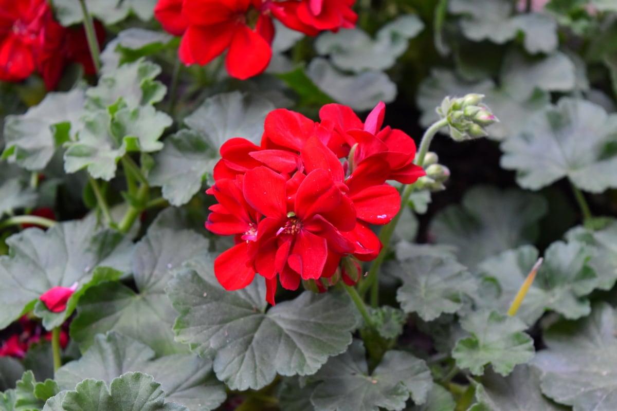 flower, plant, herb, petal, flora, geranium, nature, garden