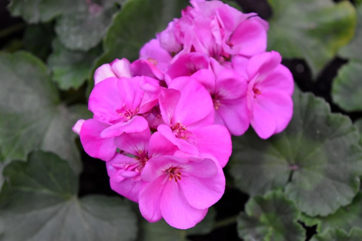 pink, flowers, blossom, geranium, plant, flower, garden, herb