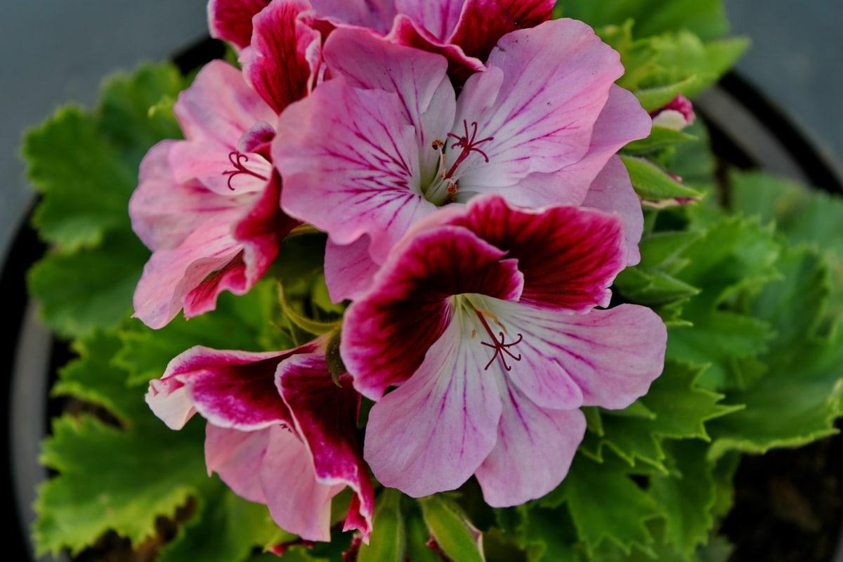 blomsterhave, Støvvejen, plante, plante, geranium, lyserød, blomsterflor, blomster