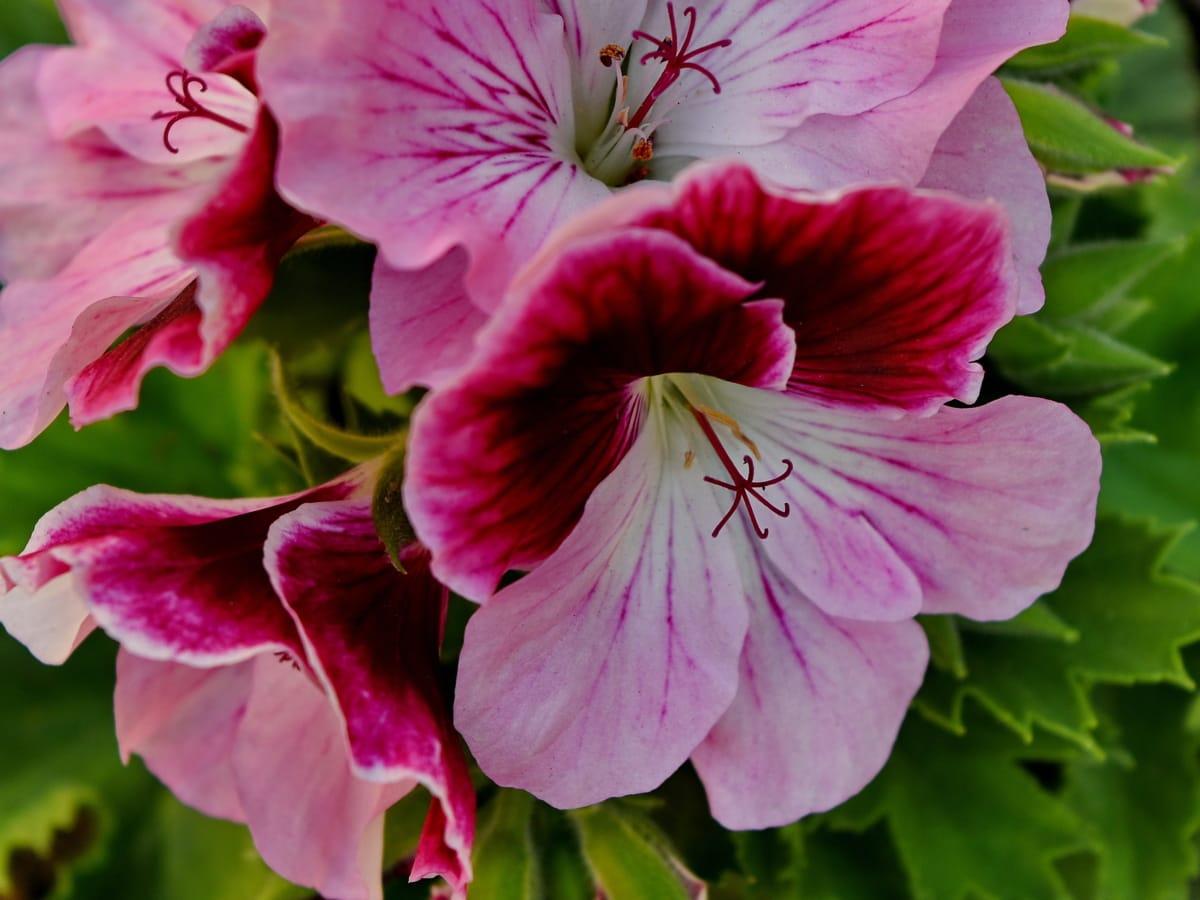 Petunia, lyserød, natur, plante, blomst, haven, flora, plante