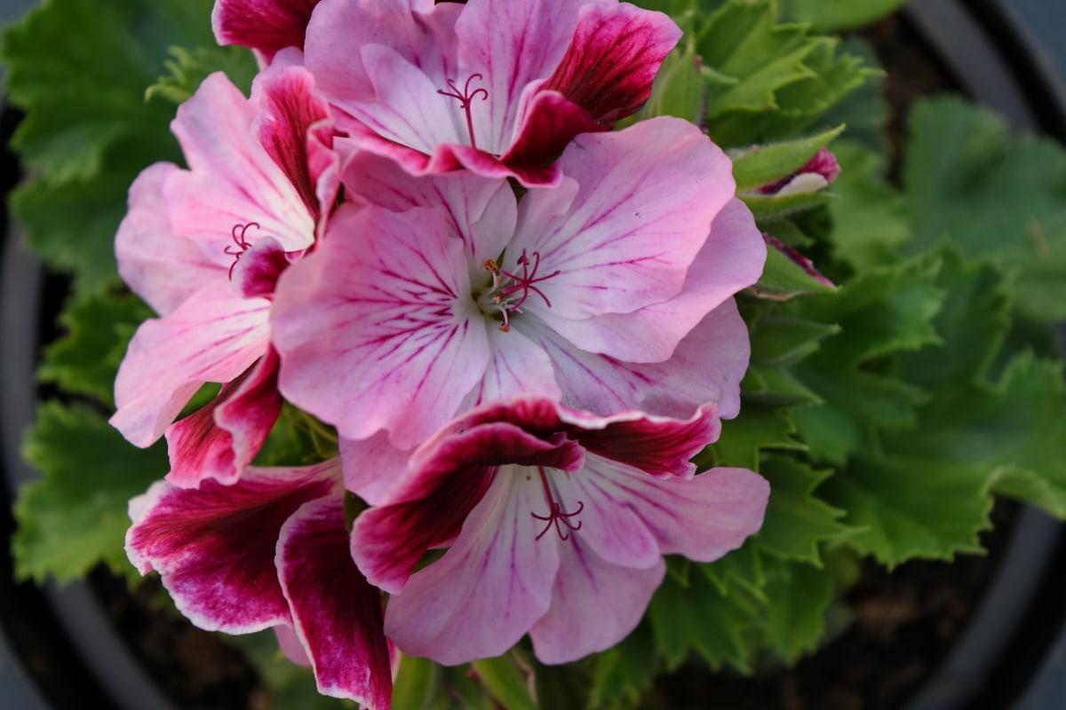 detaljer, urtepotte, Støvvejen, blomst, blomster, plante, natur, lyserød