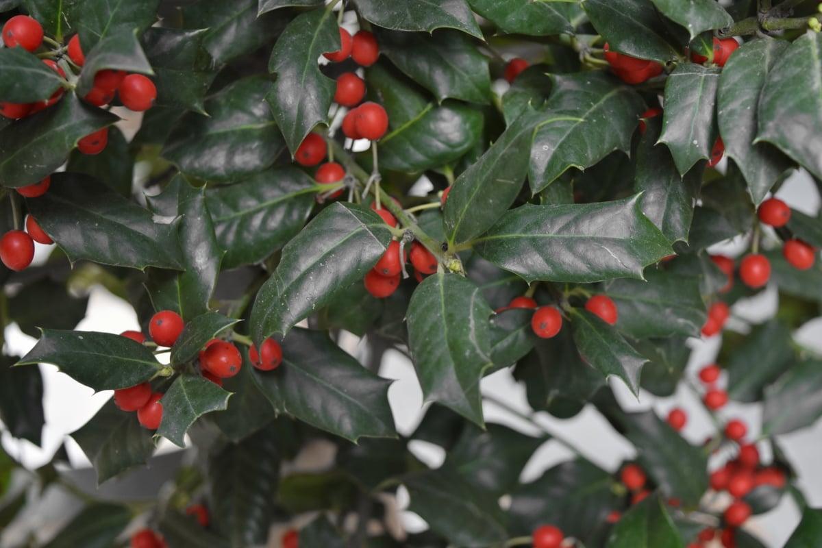berry, plant, branch, shrub, leaf, tree, christmas, nature