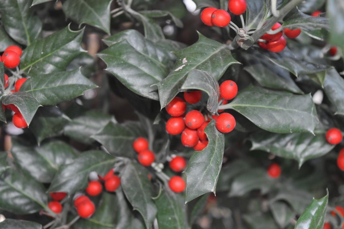 berry, branch, shrub, tree, plant, leaf, evergreen, nature