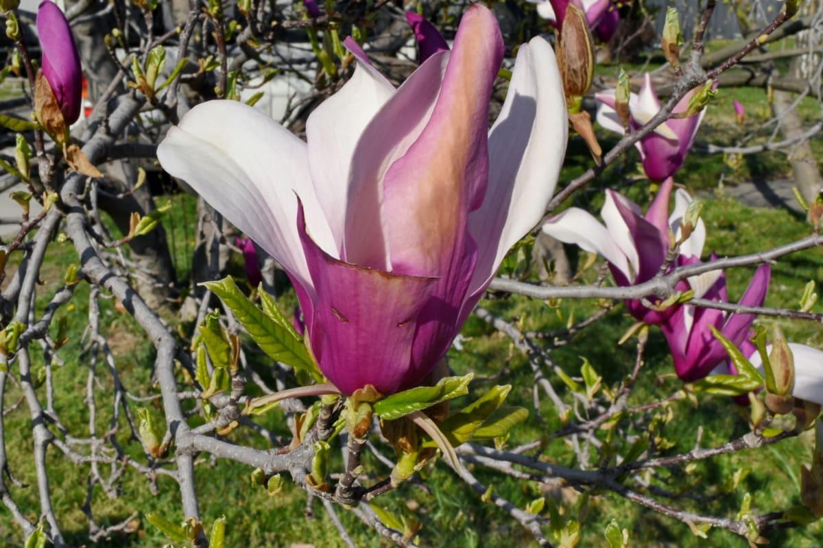 strom, květ, magnólie, zahrada, květiny, Příroda, jaro, list