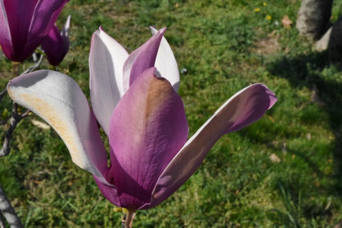 magnolia, plant, blossom, flower, flowers, nature, garden, petal
