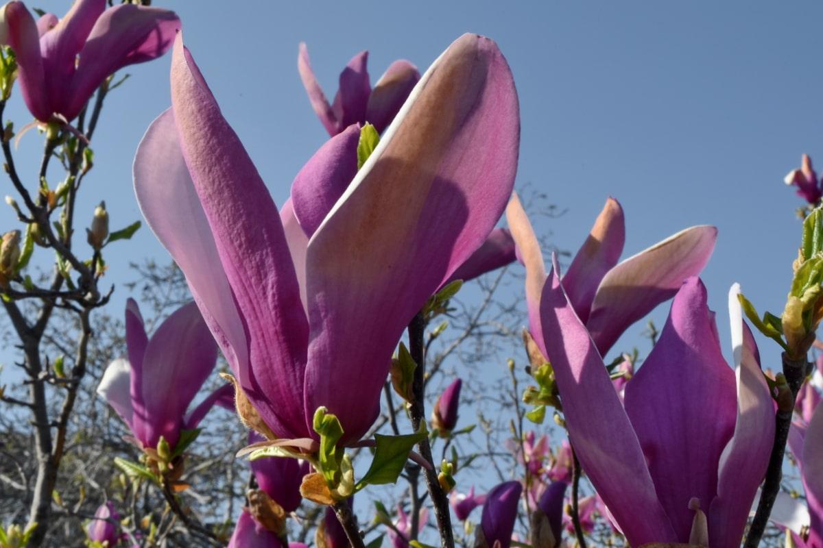 flower, spring, nature, tree, magnolia, flora, plant, garden