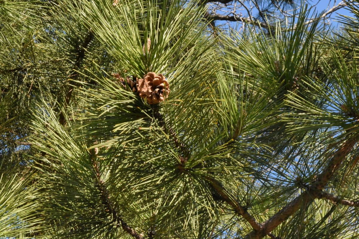 tree, plant, evergreen, nature, conifer, outdoors, branch, wood