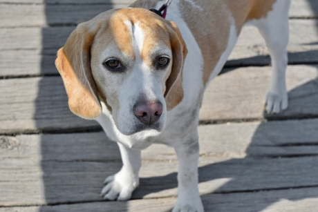 collar, breed, hound, puppy, beagle, cute, canine, dog