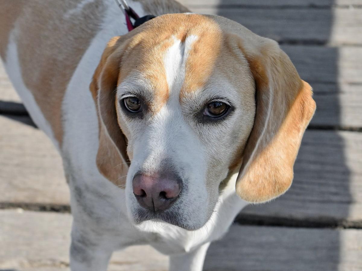 oči, hlava, nos, rodokmen, zvíře, Beagle, ohař, lovecký pes