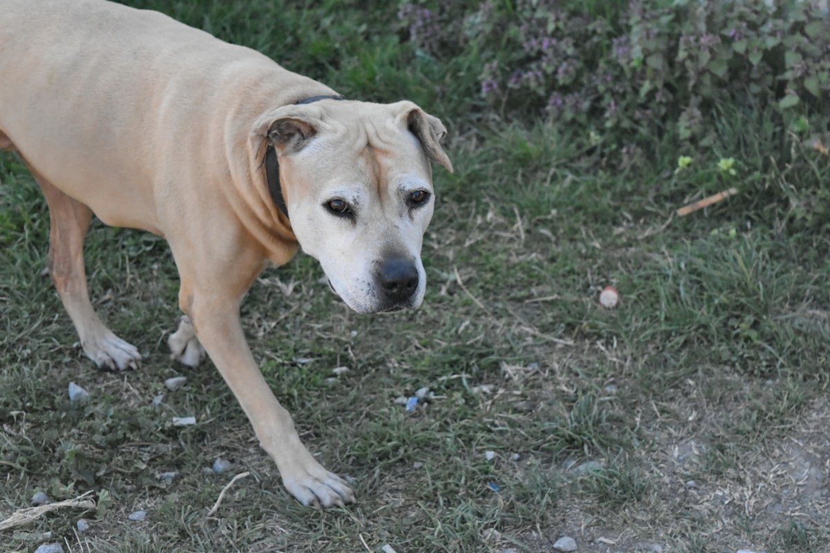 puppy, dog, hunting dog, canine, pet, grass, animal, nature