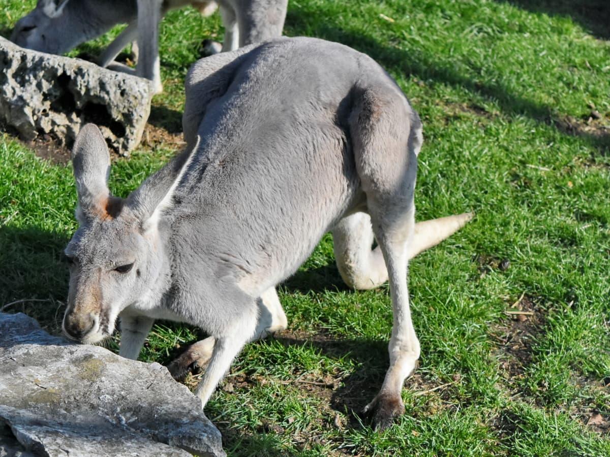 natur, kenguru, dyreliv, gresset, dyr, vill, utendørs, Pels