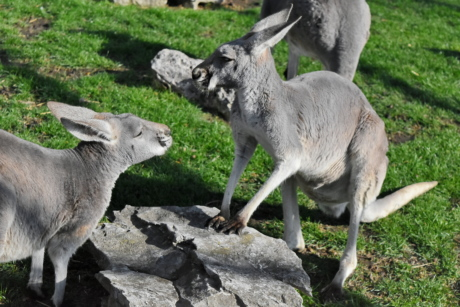 grey, kangaroo, wildlife, animal, nature, grass, wild, fur