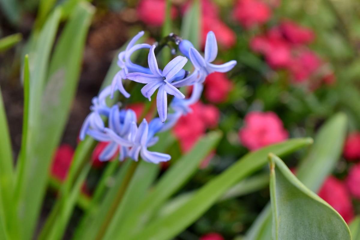 blossom, plant, nature, hyacinth, flower, flora, garden, leaf
