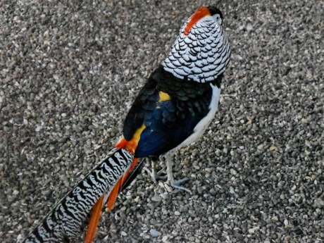 colourful, pheasant, tail, bird, nature, outdoors, color, wildlife