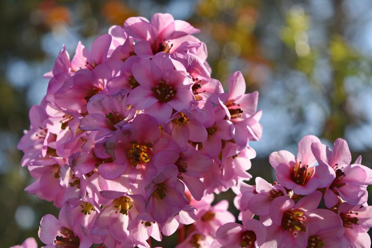 květiny, květ, Příroda, okvětní lístek, jaro, růžová, květ, bylina