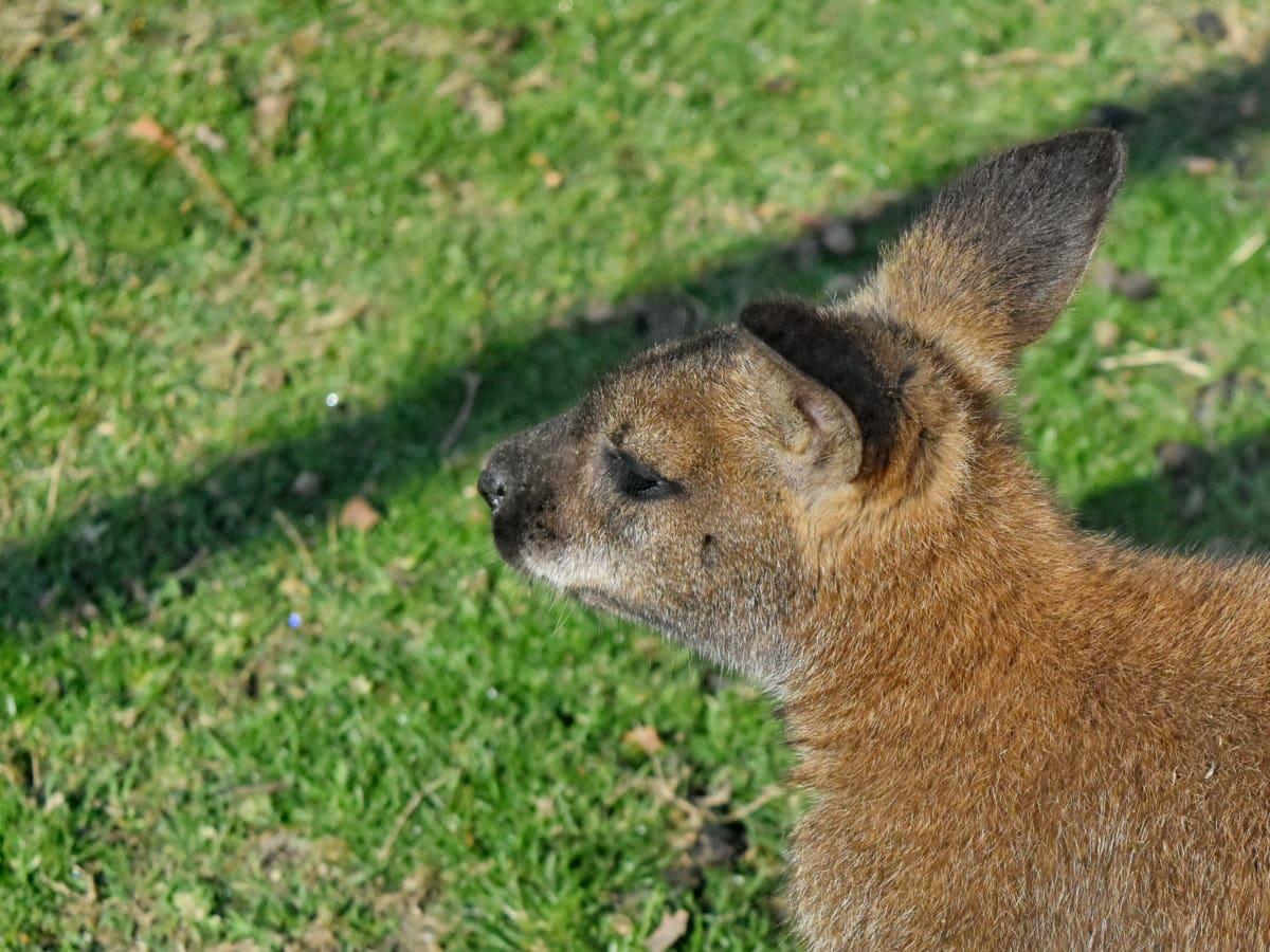 澳大利亚, 袋鼠, 啮齿动物, 毛皮, 野生动物, 野生, 动物, 可爱