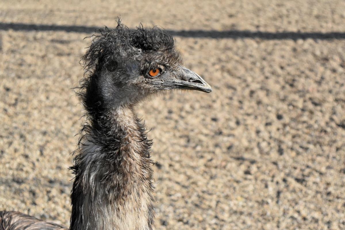 struisvogel, dier, vogelgriep, snavel, vogel, schattig, oog, fauna