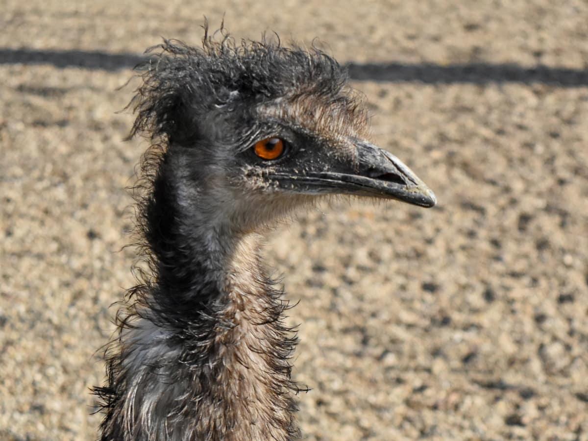 Африка, страуса, тварини, тварин, пташиний, дзьоб, птах, Птахи