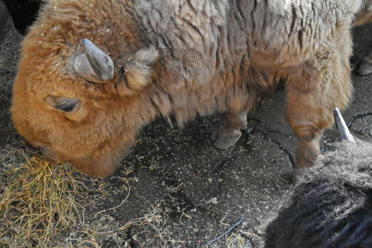 bison, horn, longhorn, wildlife, wild, fur, animal, cute