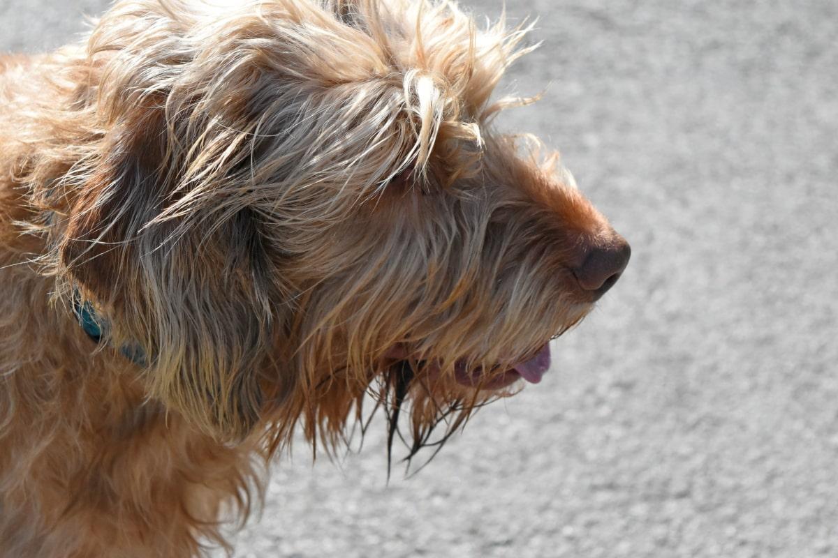chien de berger, chien, animal, Fourrure, mignon, Portrait, nature, domestique