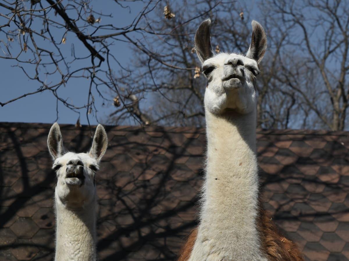 wild, llama, wildlife, animal, alpaca, neck, head, nature