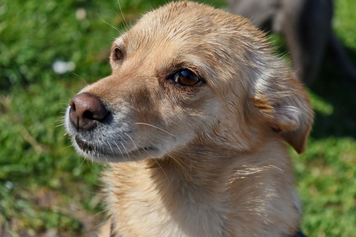 pes, milý, zviera, psie, domáce zviera, Kožušiny, šteňa, portrét