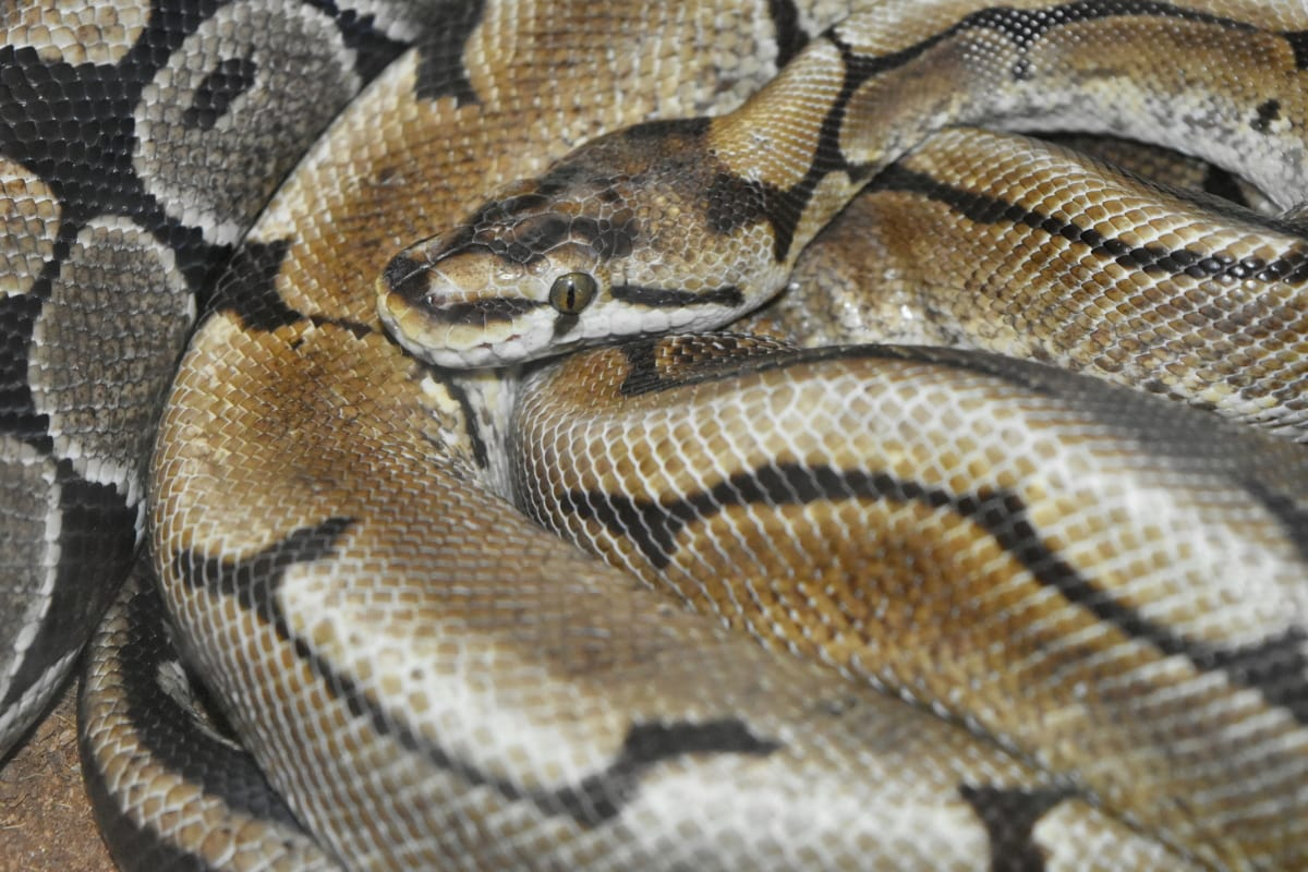light brown, zoology, animal, scale, reptile, snake, viper, wildlife