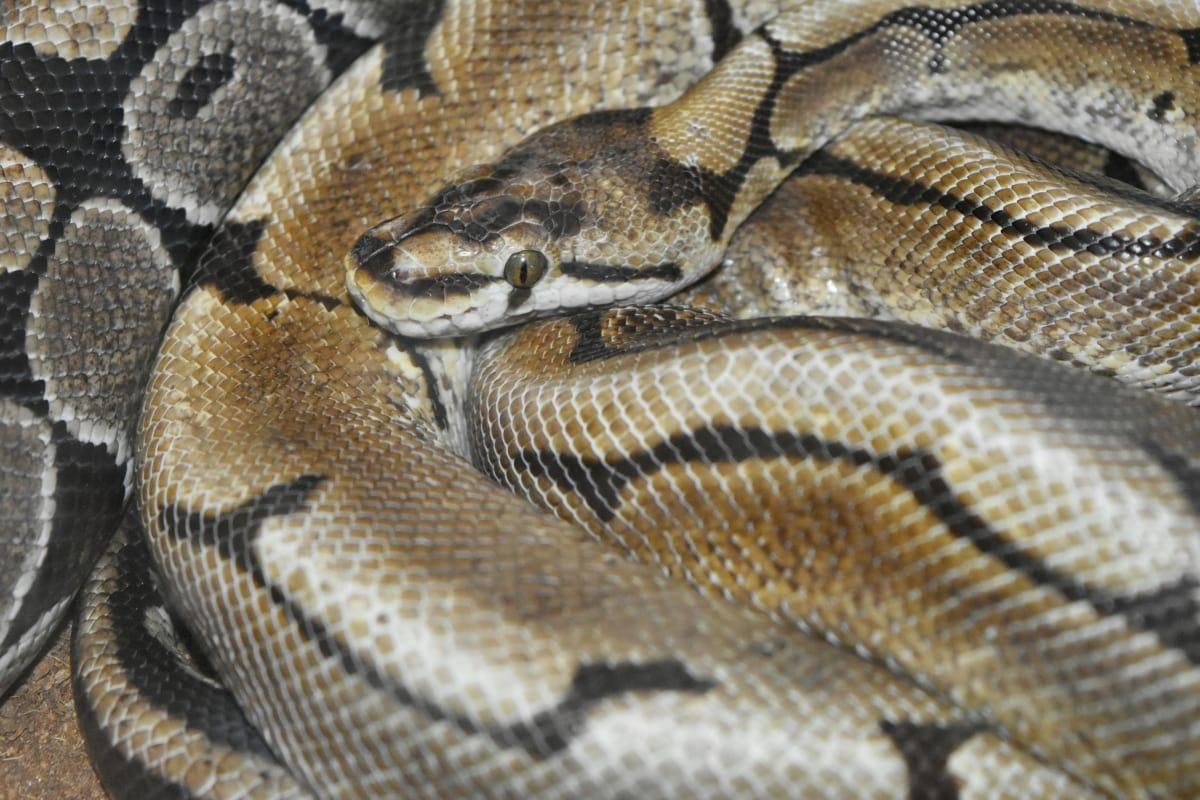 светло кафяв, зоология, животните, мащаб, влечуги, змия, усойница, дива природа