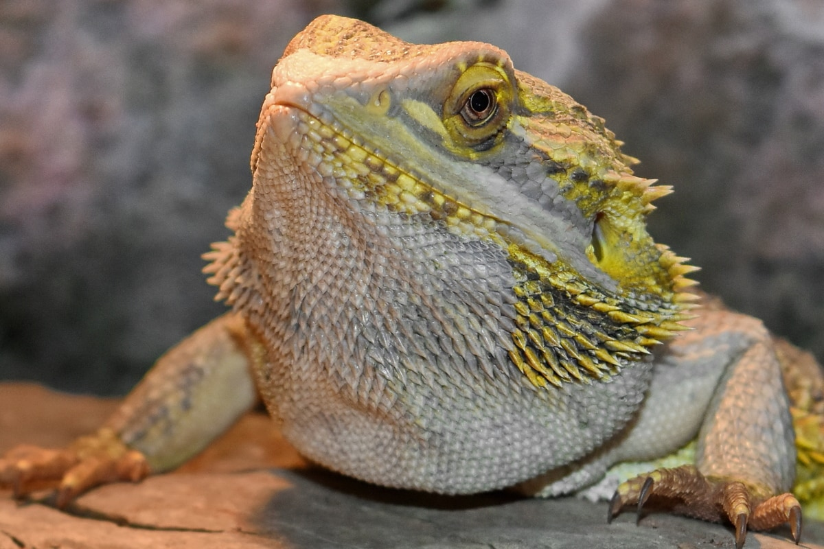animal, chameleon, ecology, environment, exotic, fauna, landscape, lizard