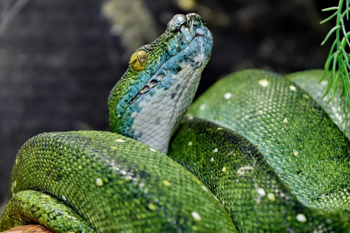 kamuflaža, detalj, zelena zmija, glava, piton, životinja, životinje, ekologija