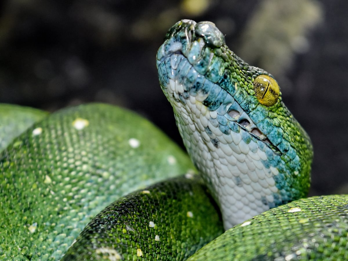 camouflage, eye, green snake, head, python, animal, animals, danger