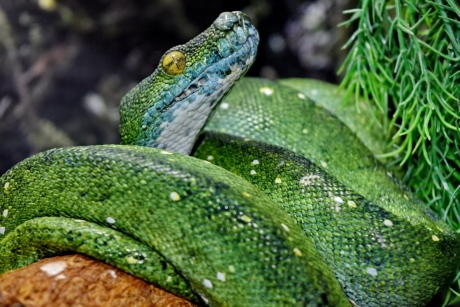 exotic, green snake, python, rainforest, tropical, animal, animals, camouflage