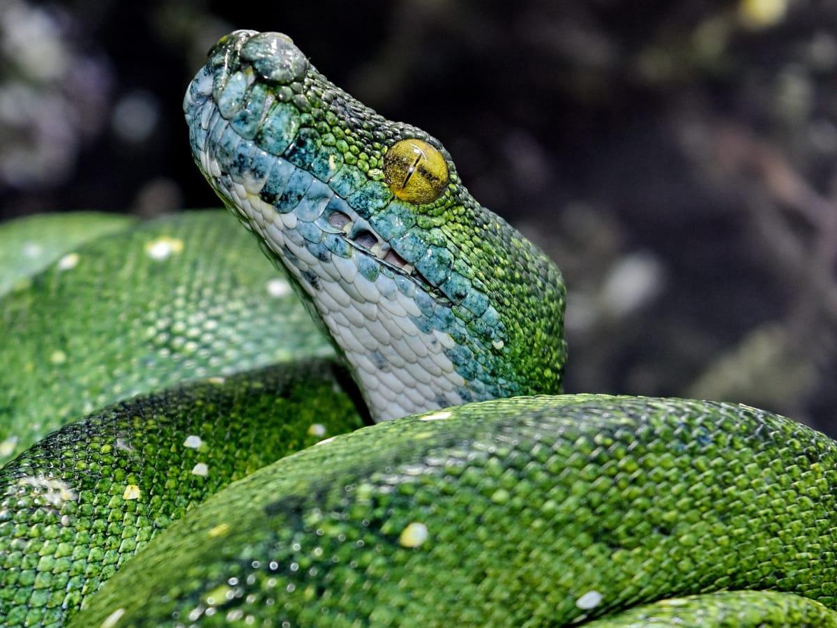 detail, eye, green snake, head, mouth, python, animal, animals
